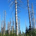 Aufnahme Bäume im Bayerischen Wald